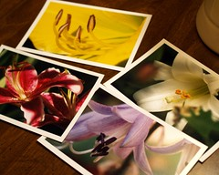 lily postcards - set of 4