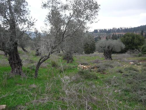 Yodfat 89 - olive grove