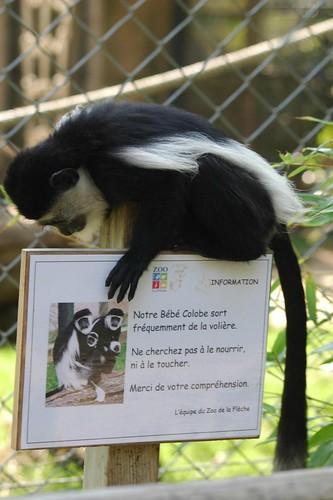 Mantelaffe im Zoo de La Flèche