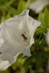 せっせと花粉集め