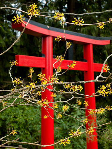 Torii Gate with Witch Hazel