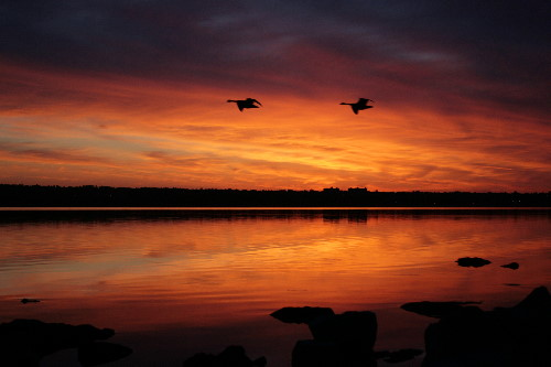 Sunrise and Canada Geese over the Ottawa River