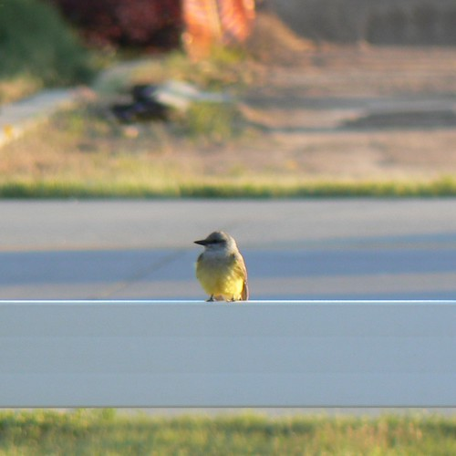 Western Kingbird, Sidney, NE