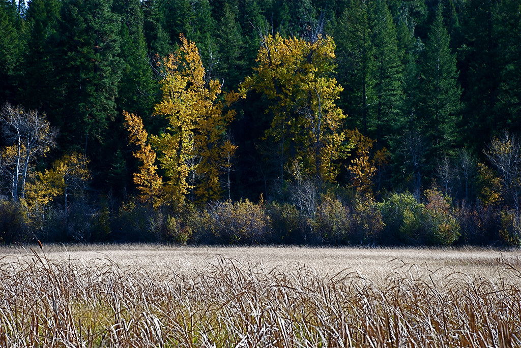 Fall colors ~ Black Cottonwood
