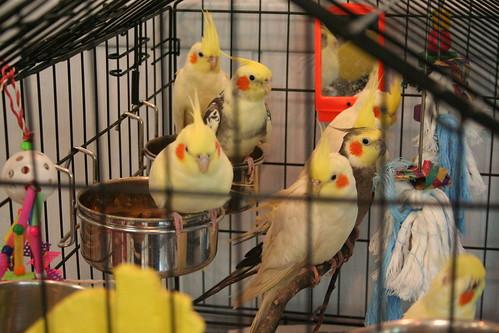 Rescued cockatiels