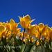 Un montón de tulipanes amarillos