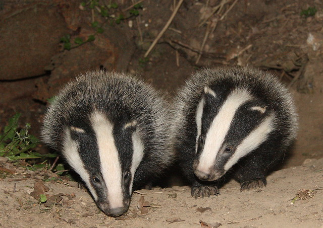 Badger cubs_10-04-24_328