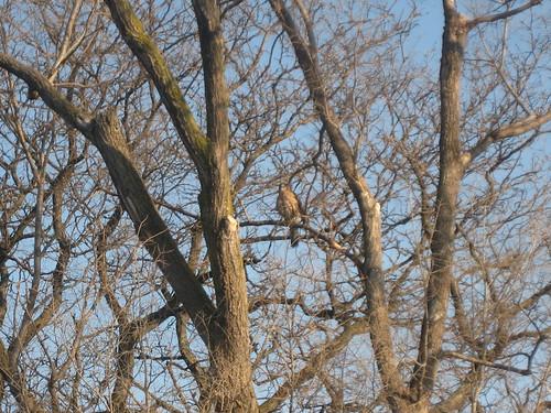 Hawk visitor 1