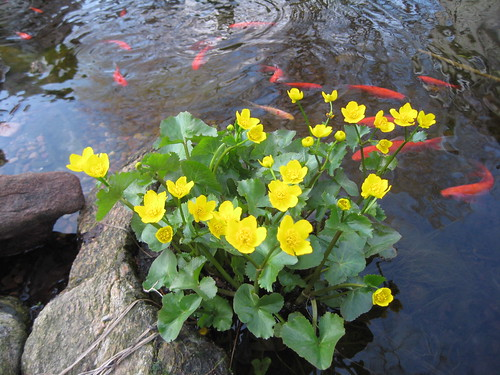 Marsh marigold and goldfish