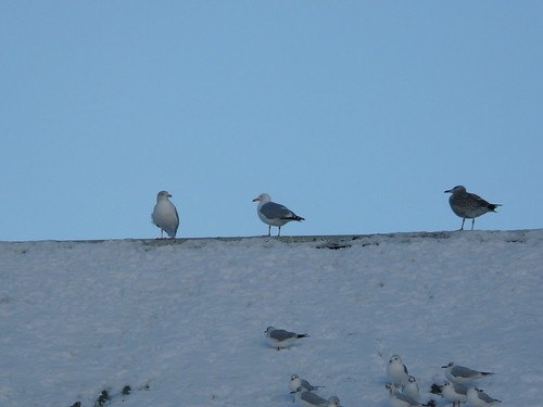 Here Come The Gulls...
