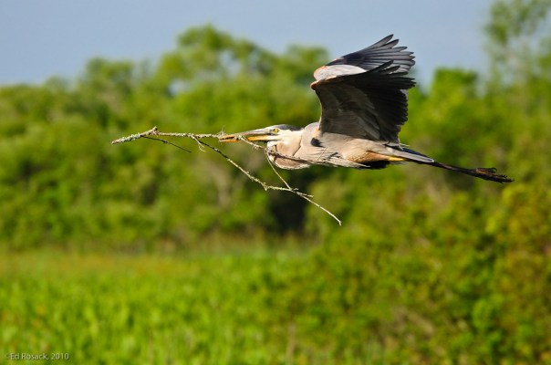 Great Blue Heron in flight, bringing stick to mate in nest