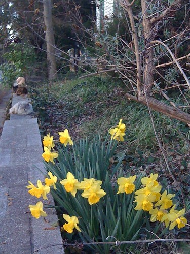 Three Cats and Daffodils
