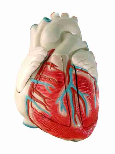 human heart (model)