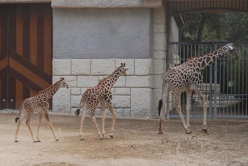 Giraffen im Zoo de La Palmyre