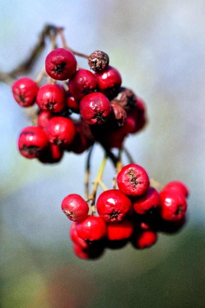 Red berries macro