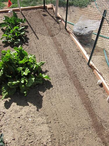 Planting Lettuce