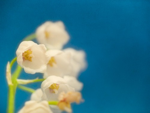 Olympus Macro picture with white flowers