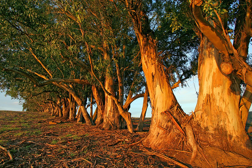 Eucalyptus Trees at Sunset 3482