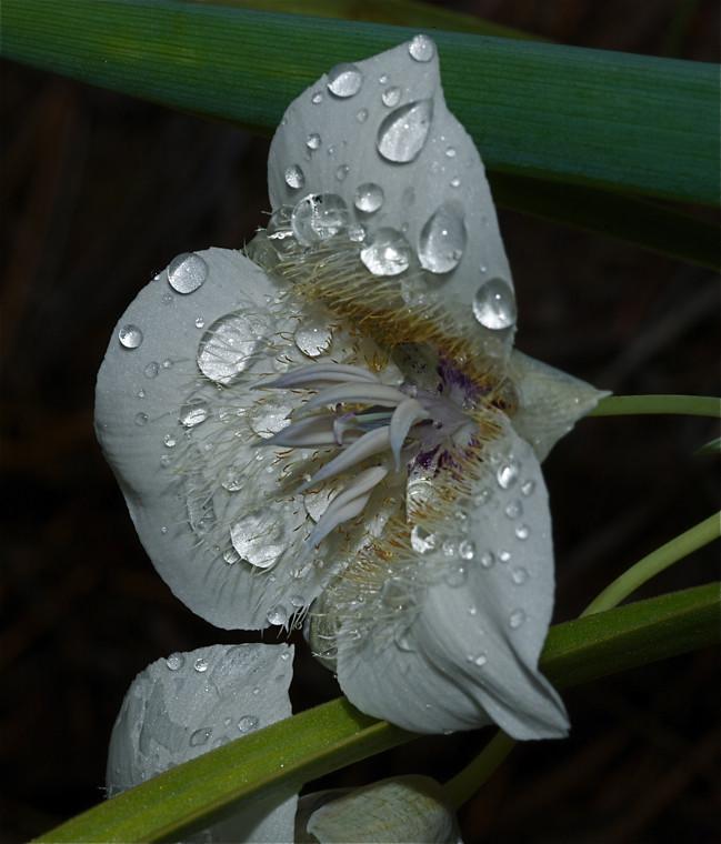 Subalpine Mariposa Lily