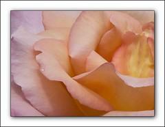 Rose Petals and Raindrop
