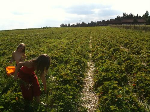 Erdbeerfeld 2
