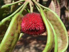 Parkia platycephala (Joo de Deus Medeiros) Tags: fabaceae Parkia platycephala parkiaplatycephala