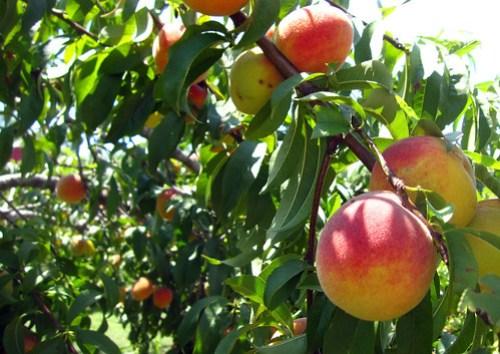 peaches kingsland