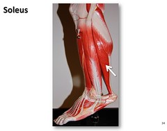 Soleus - Muscles of the Lower Extremity Anatom...