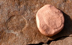 The Ediacaran fossil Dickinsonia, and a silly ...