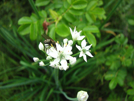 Photo of Chive Flowers