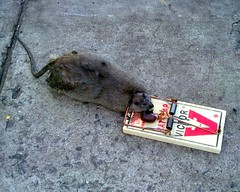 Huge Dead Rat New York Shankbone 2010