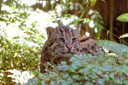 San Diego Fishing Cat in the Bushes