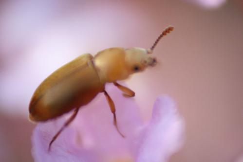 Macro beetle