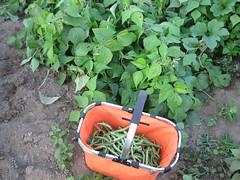 garden-thegreenbeans