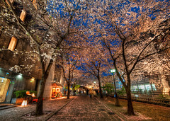 A Silent Evening in Kyoto Under the Cherry Blo...