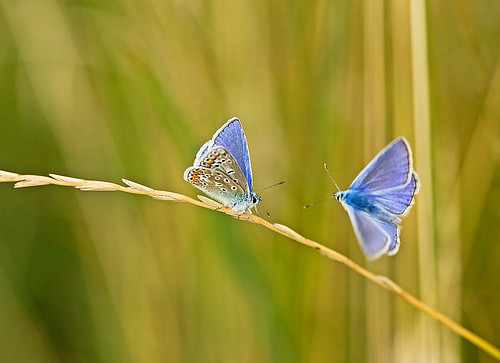 Common Blue  (series 2/5)