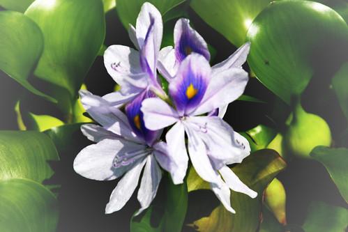 365-228 Water Hyacinth