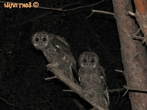 Eruasian Tawny Owl