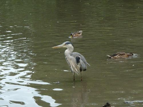 heron and ducks at Rathfarnham Castle Park 14