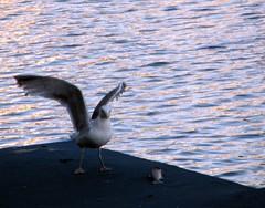 Gull & fish