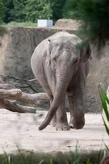 Asiatischer Elefant Tong Koon im Kölner Zoo