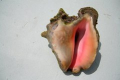 conch shell in Turks and Caicos