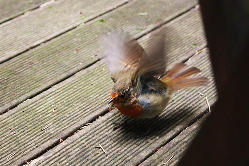 Pepe the Backyard Bird 1