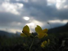 Fiori gialli nel cielo grigio
