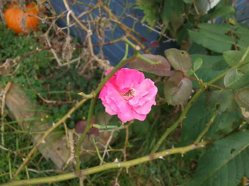 Rose bloom 2nd blooming.