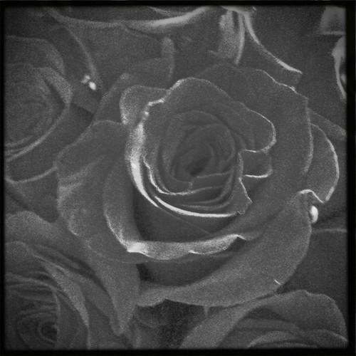 Valentines Rose's #7