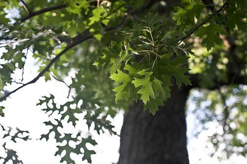 {199/365} oak tree