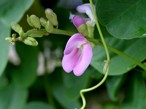 Bay-Bean-Flower-Closeup