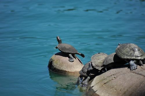 Head Turtle 2
