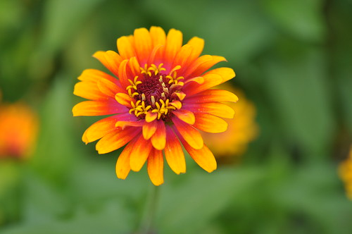 yellowandorange zinnia